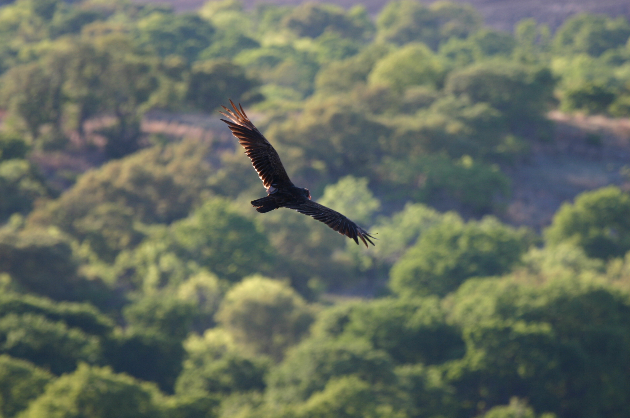 Aerial_View_of_Flying_Eagle_over_Green_Forested_Land